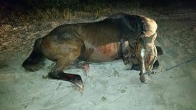 Horse's Death Exposes Illegal Horse Transporter