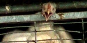 זוגלובק עוף לכוד צורח 300