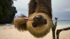 upside-down sloth
