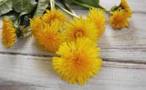 Ways to Use Dandelion (Roots, Leaves, Flowers)