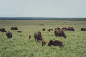 Bison and calf at Tallgrass Prairie National Preserve in Flint Hills Kansas