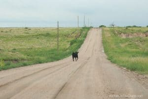 Calf running loose on country road near Monument Rocks chalk pyramids in western Kansas