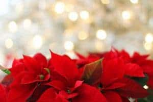 poinsettia flowers with christmas lights in the background