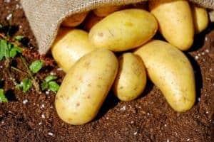 Lagern von Kartoffeln – so geht es richtig
