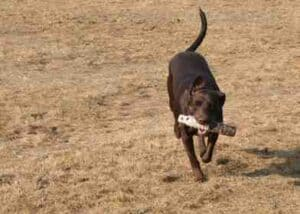 Chocolate lab female with bumper