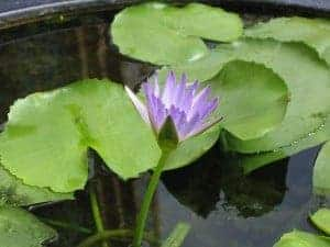 Water lily in a koi pond