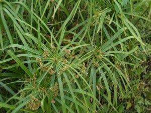umbrella plant in a koi pond