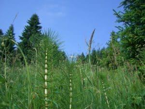 Mit Ackerschachtehalm Pflanzen biologische Schädlingsbekämpfung