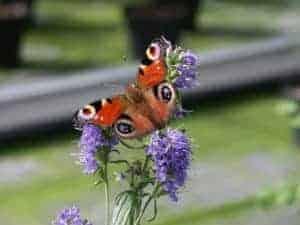 Winterharte Kräuter anbauen wie der Ysop: Diese sind beliebt bei Schmetterlingen - und schmecken lecker!