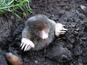 Best Mole Traps