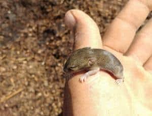 Мыши переносят инфекции