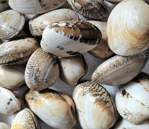 Almeja babosa gallega a un buen precio y de excelente calidad