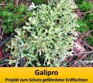 Bild: Isländisch Moos (Cetraria islandica). Die auf dem Boden lebende Flechtenart ist in Deutschland stark gefährdet und in einigen Bundesländern bereits ausgestorben.
