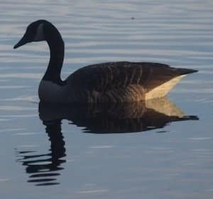 Canada goose with a curved neck