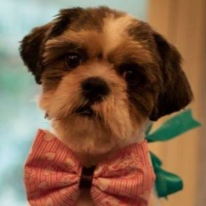 8 interesting facts about Shih Tzu