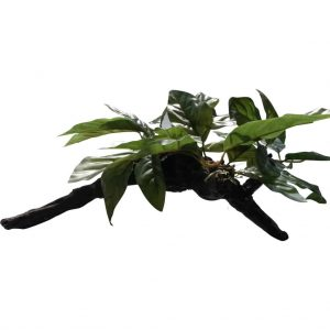 Plant on Wood Aquarium Decor
