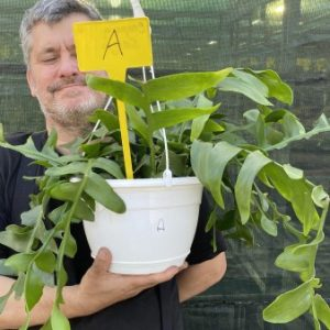 AAAE: Large Plant Marniera (Epiphyllum ) crysocardium A (EU Only)