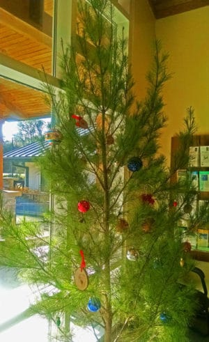 sand pine tree Cut your own Christmas tree at Ocala National Forest