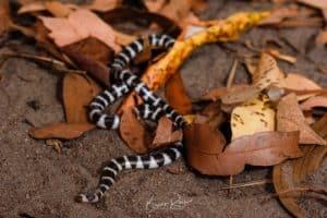 bandy-bandy snake on leaves
