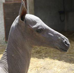 """Veterinarians euthanized this hairless filly at 21 days due to a """"spontaneous leg fracture""""."""