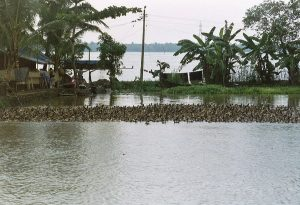 duck herd at backwaters in Kerala
