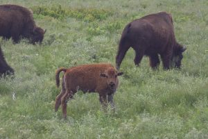 Bison calf at Tallgrass Prairie National Preserve in Kansas