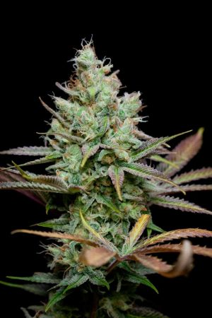 Pennywize by TGA Genetics