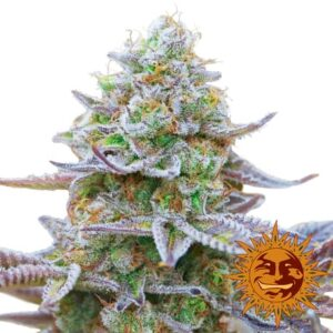 Barneys Farm Gorilla Zkittlez is a heavy yielding cannabis strain that is oozing with Resin at 24% THC & it's Flavorful Terpenes bring in an always welcome fruity flavor.