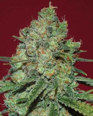 Clinical White CBD by Expert Seeds