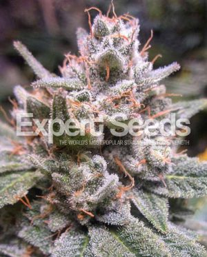 Gorilla Glue #4 Auto by Expert Seeds