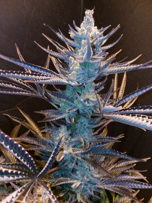 Harliqueen by TGA Genetics Subcool Seeds