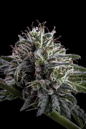 Deadlights High CBD by TGA Genetics