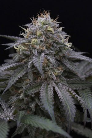 Sugar Breath by Humboldt Seeds