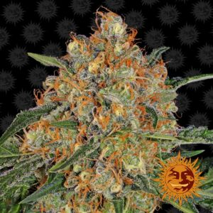 Orange Sherbert by Barneys Farm