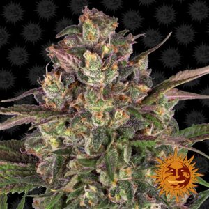 Peyote Critical by Barneys Farm