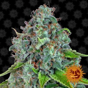 Strawberry Lemonade by Barneys Farm