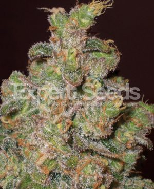 Exodus Cheese by Expert Seeds