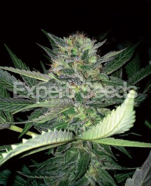 Critical Lights by Expert Seeds