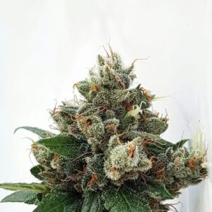 Respect 4 Gorilla by Expert Seeds
