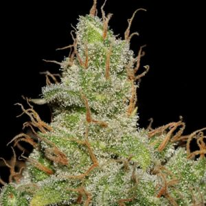 Jack Herer by Canna Genetic Farms