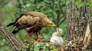 Aguila pomerana