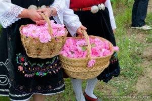 Frischen Rosen frisch gepflückten