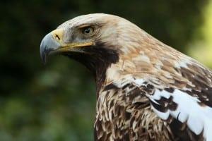 Aguila Imperial oriental aves raras en Europa