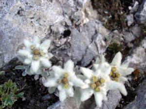 edelweiss pirin