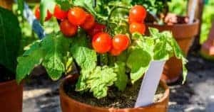 Growing Tomatoes In Pots_ Planting, Care, And Harvesting Container Tomatoes