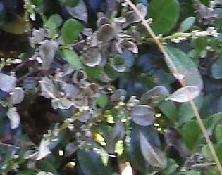 volutella blight box tree leaves falling