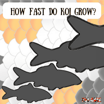 How Fast Do Koi Grow