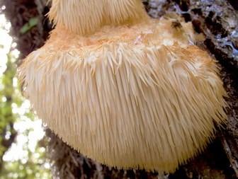 Lion's mane mushroom for NGF