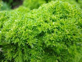 Petroselinum crispum for juicing