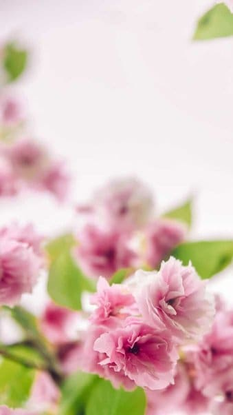 pink flowers background for iPhone